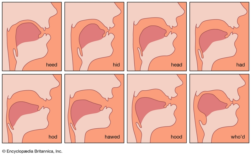 8 illustrations of location-shape of tongue while pronouncing different vowels